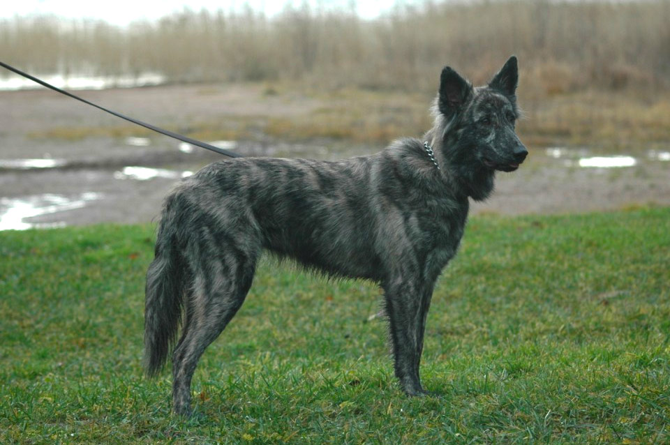 Tiara, A-Litter, Kennel Hollandroy