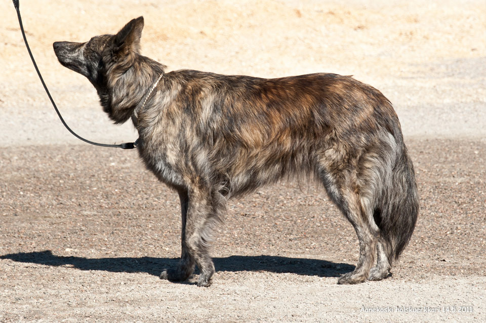 Minke, B-Litter, Kennel Hollandroy