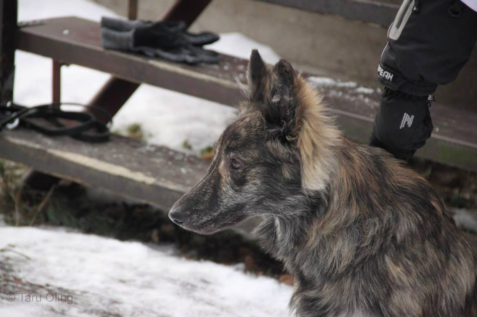 Piski, B-Litter, Kennel Hollandroy