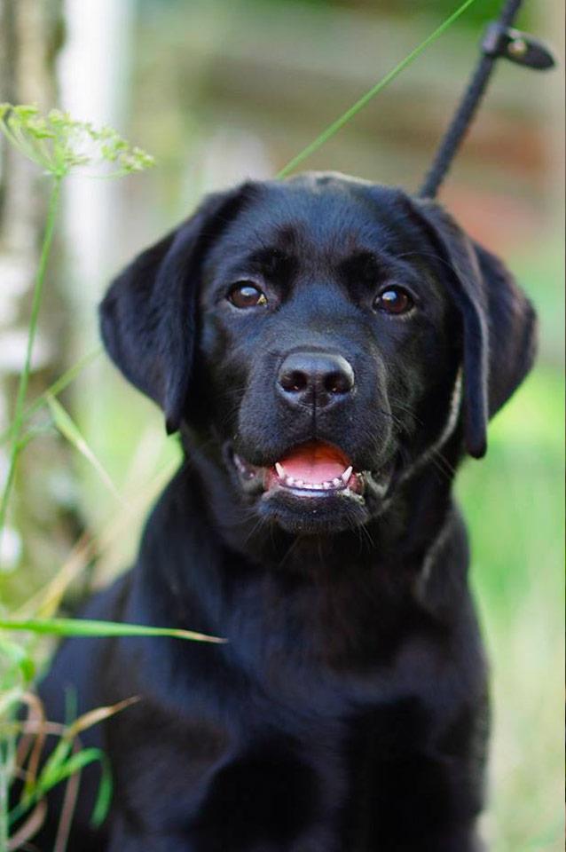 Bertta, Labrador Retriver, Kennel Hollandroy