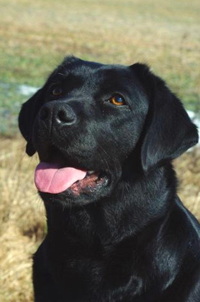 Molly, Labrador Retriver, Kennel Hollandroy