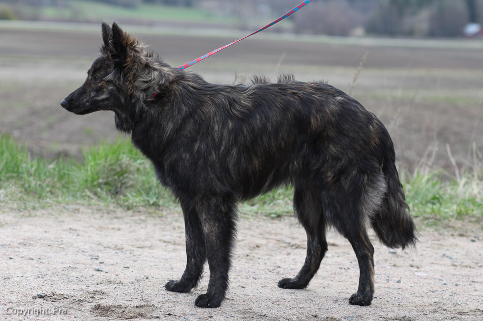 Ooda, R-Litter, Kennel Hollandroy