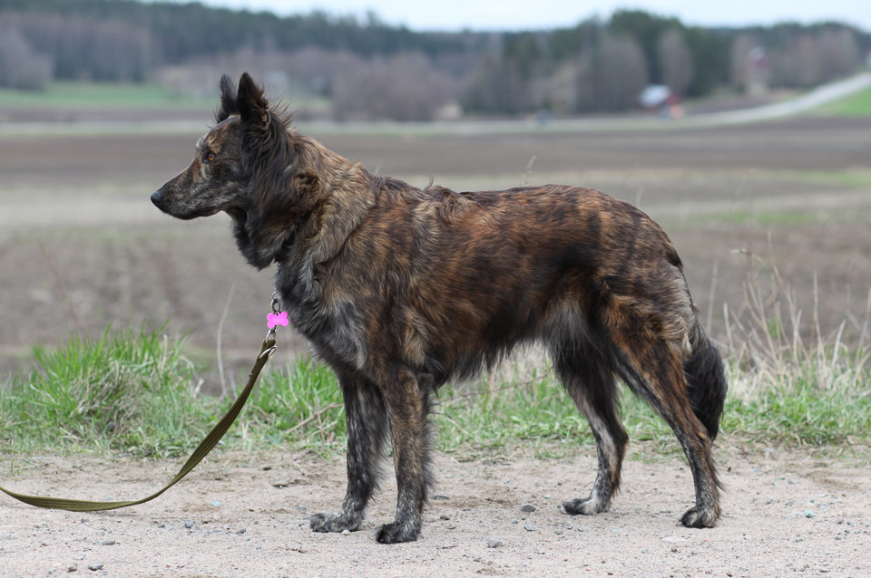 Viiru, R-Litter, Kennel Hollandroy