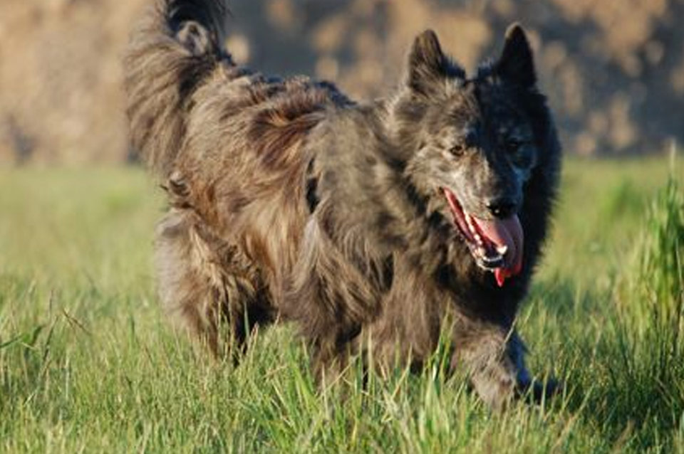 Archo, S-Litter, Kennel Hollandroy