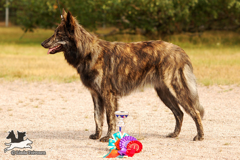 Sinna, S-Litter, Kennel Hollandroy