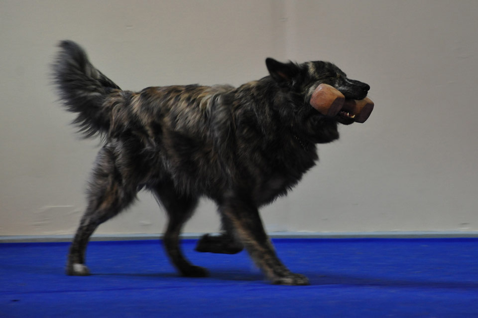 Sumu, S-Litter, Kennel Hollandroy