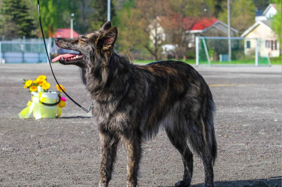 Getti, T-Litter, Kennel Hollandroy