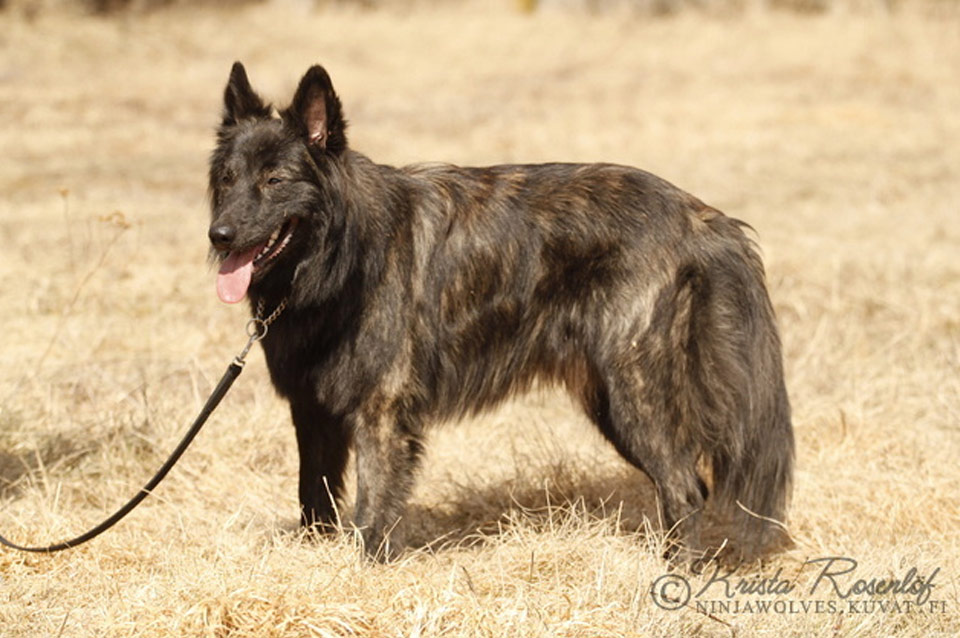 Atso, U-Litter, Kennel Hollandroy