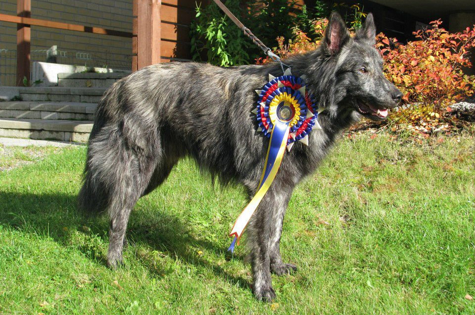 Urho, U-Litter, Kennel Hollandroy