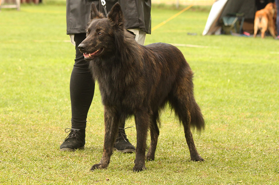 Ralli, Z-Litter, Kennel Hollandroy