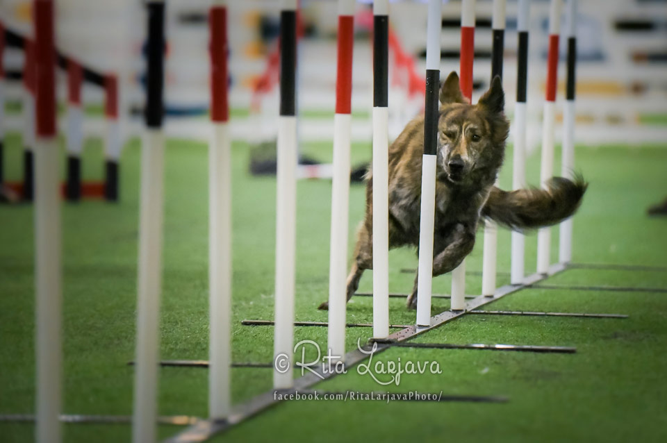 Dogs from past - Kennel Hollandroy - Katla