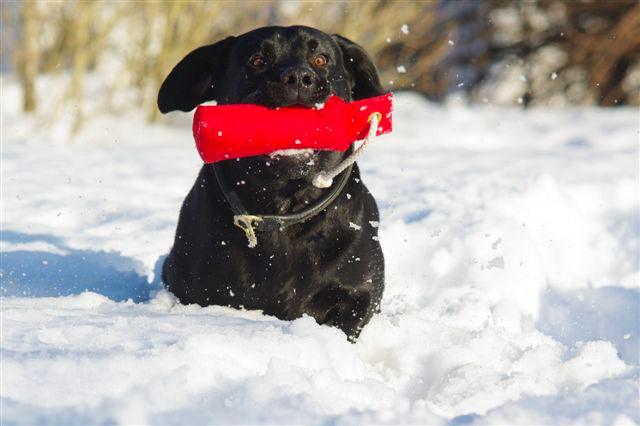 Labrador Retriver, Kennel Hollandroy